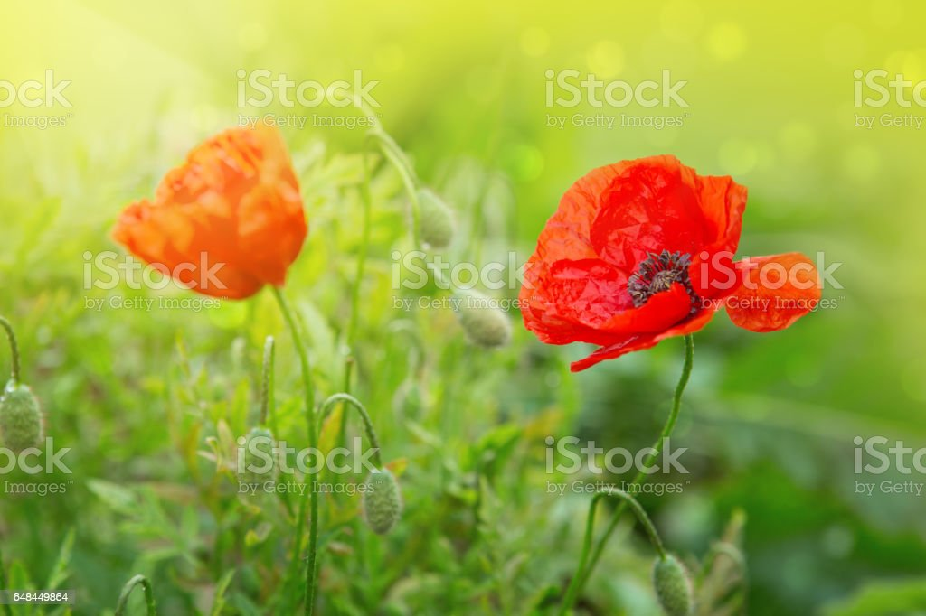 Two Poppy flowers isolated on green stock photo
