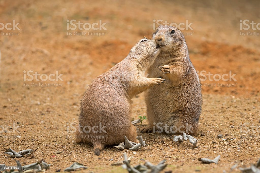 Two prairie dogs sharing their food stock photo