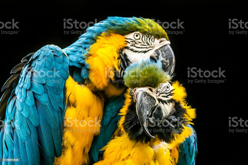 Two preening macaw parrots stock photo