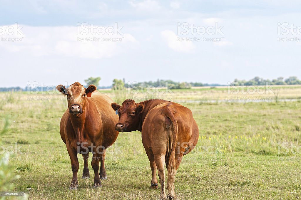 Two Pregnant Red Angus Cows in Pasture stock photo