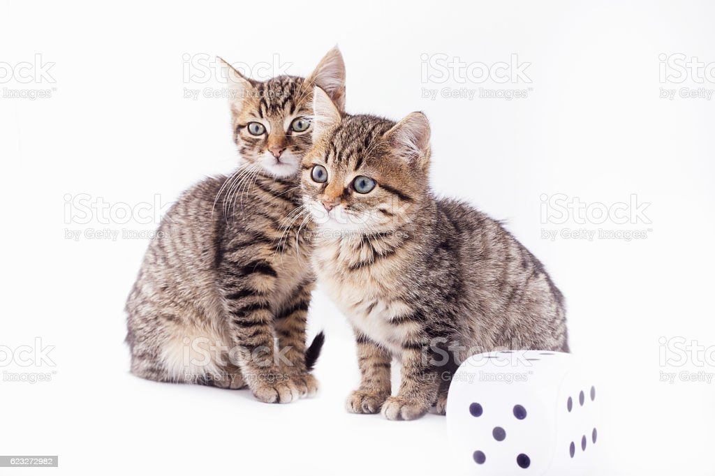 Two Pretty cats and dice stock photo