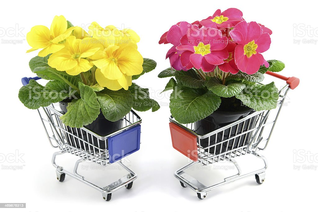 two primroses in flower pot at shopping cart royalty-free stock photo