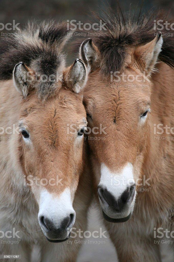 Two Przewalski's horses stock photo
