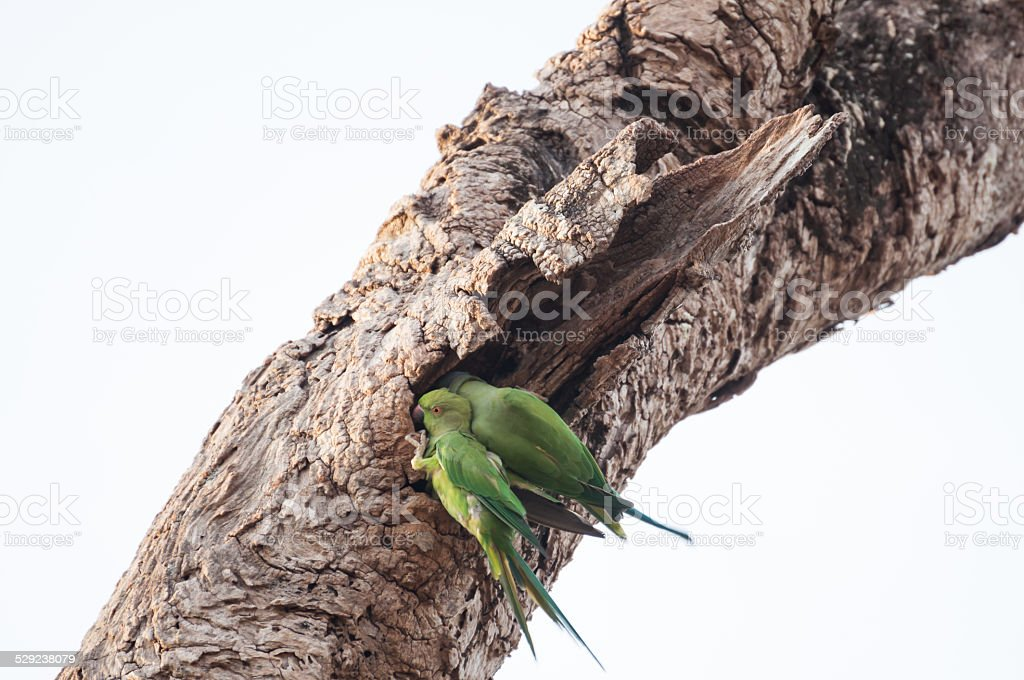 Two Psittacula Krameri parakeets perched on an old tree trunk stock photo