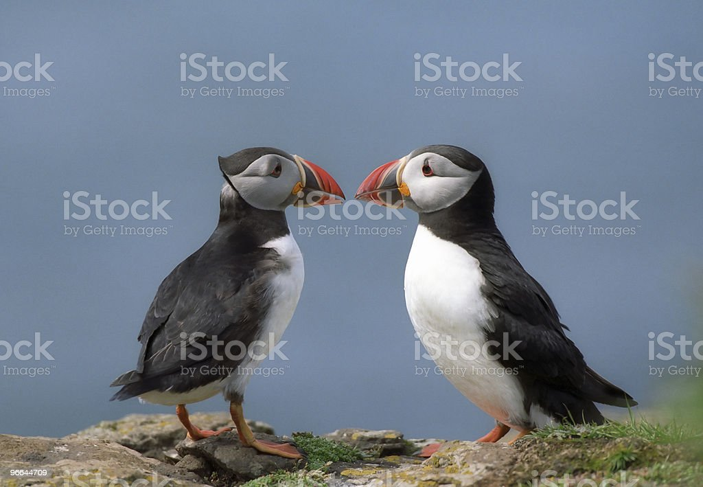 Two puffins royalty-free stock photo