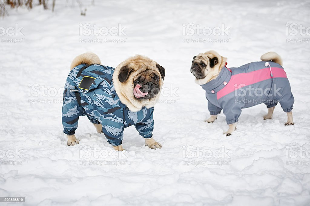Two Pugs Outdoors stock photo