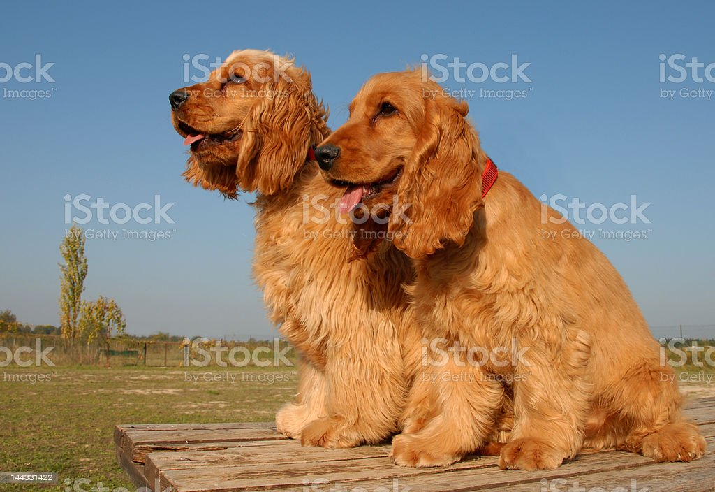 two puppies english cockers stock photo