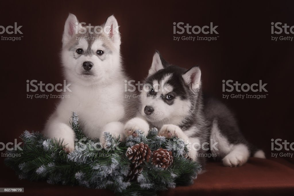 Two puppies Husky and Christmas wreath stock photo