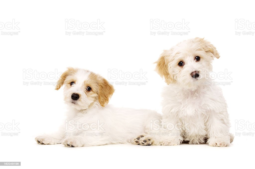 Two puppies isolated on a white background royalty-free stock photo