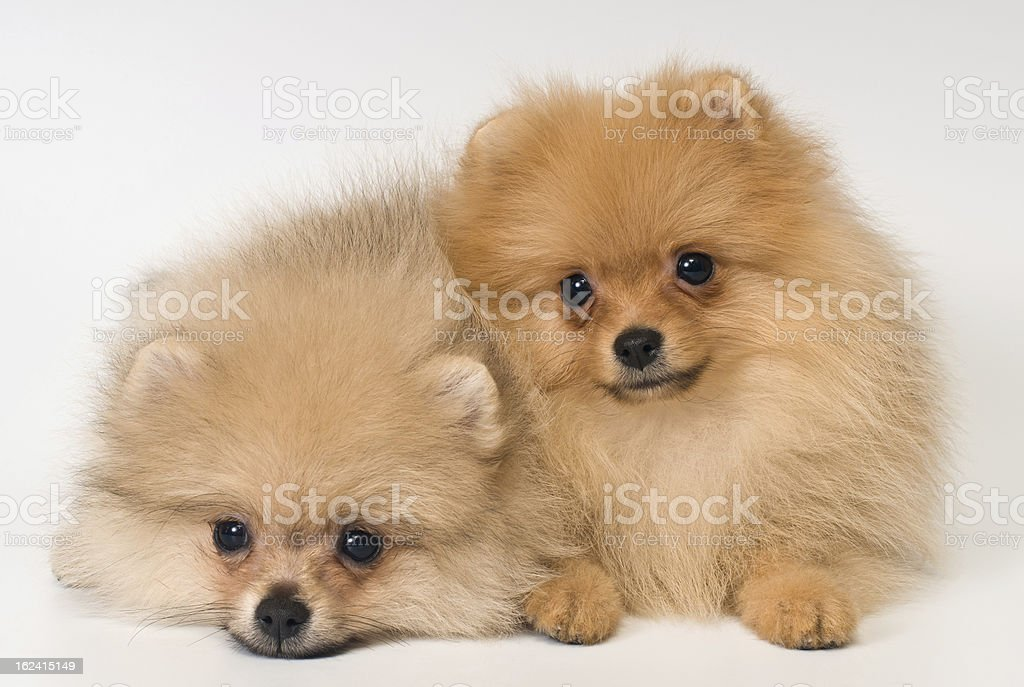 Two puppies of breed a Pomeranian spitz-dog royalty-free stock photo