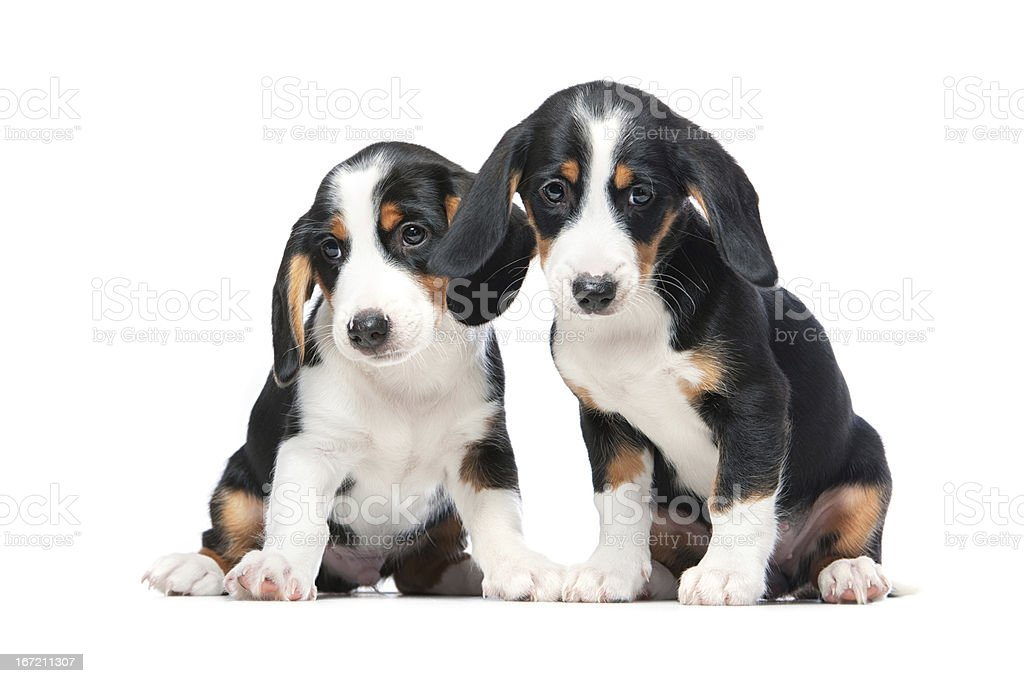 Two puppies stock photo