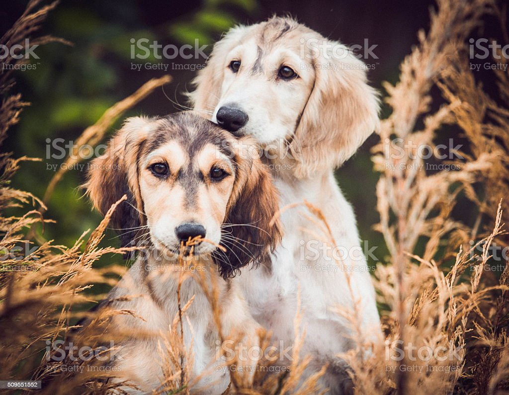 Two puppies Saluki royalty-free stock photo