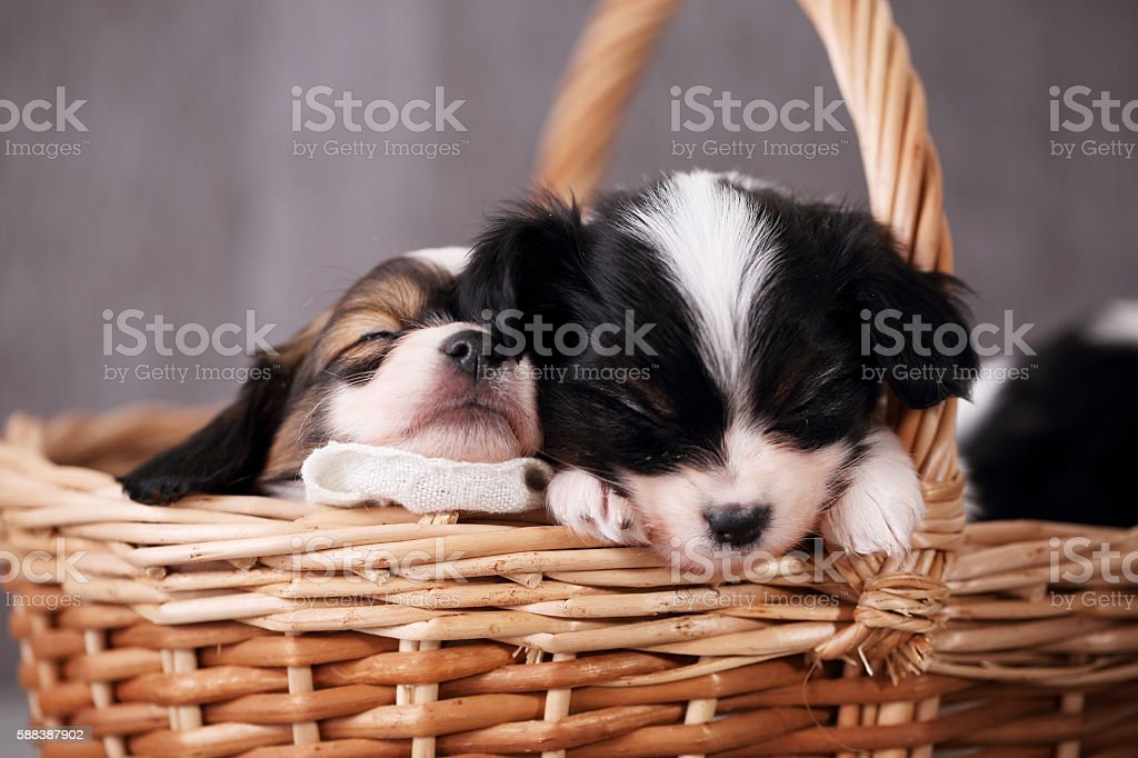 two puppies sleeping, close-up stock photo