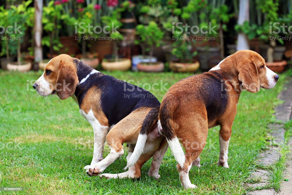 Dog Breeds in the Hound Group