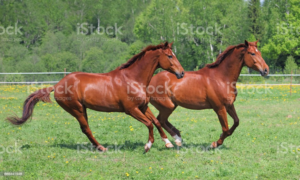 Two purebred horse galloping across meadow stock photo