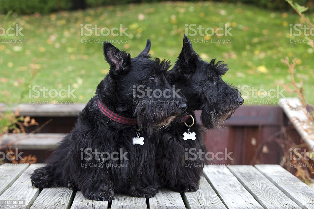 Two Purebred Scottish Terriers stock photo