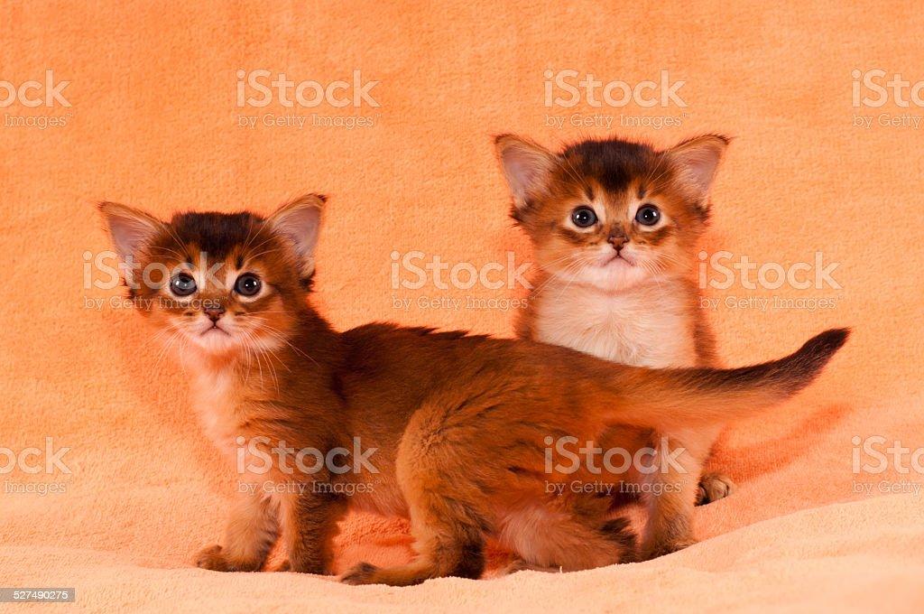 Two purebred somali kittens stock photo