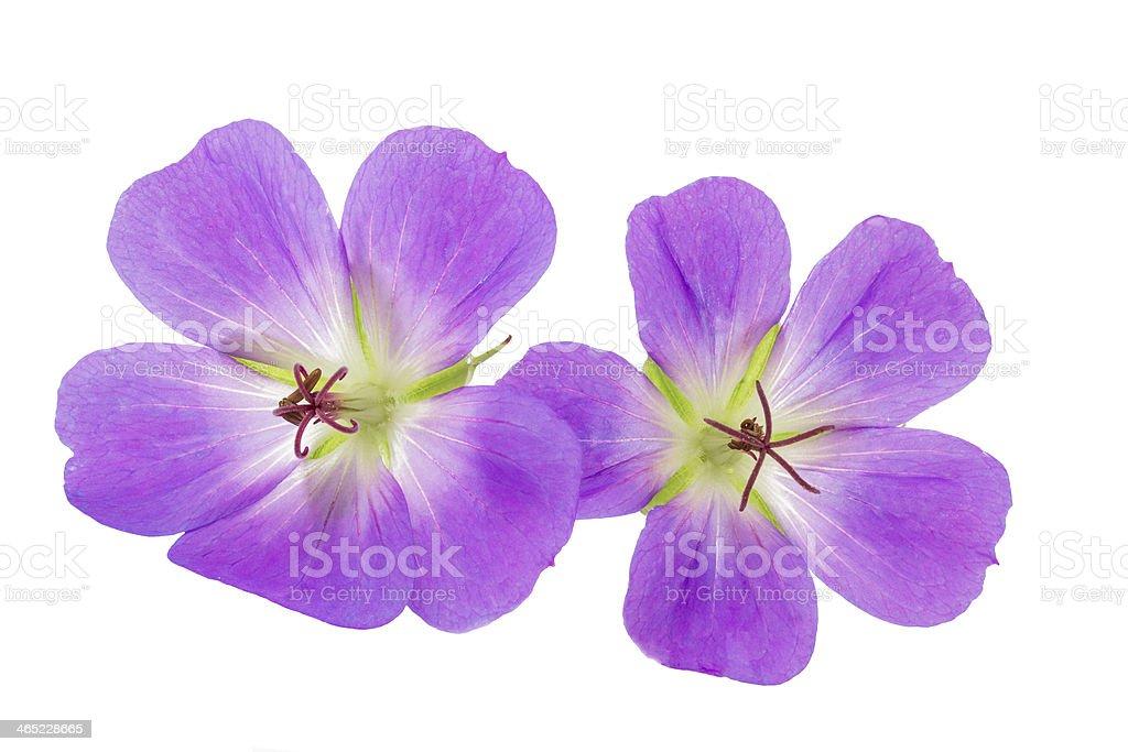 Two purple geraniums on a white w stock photo