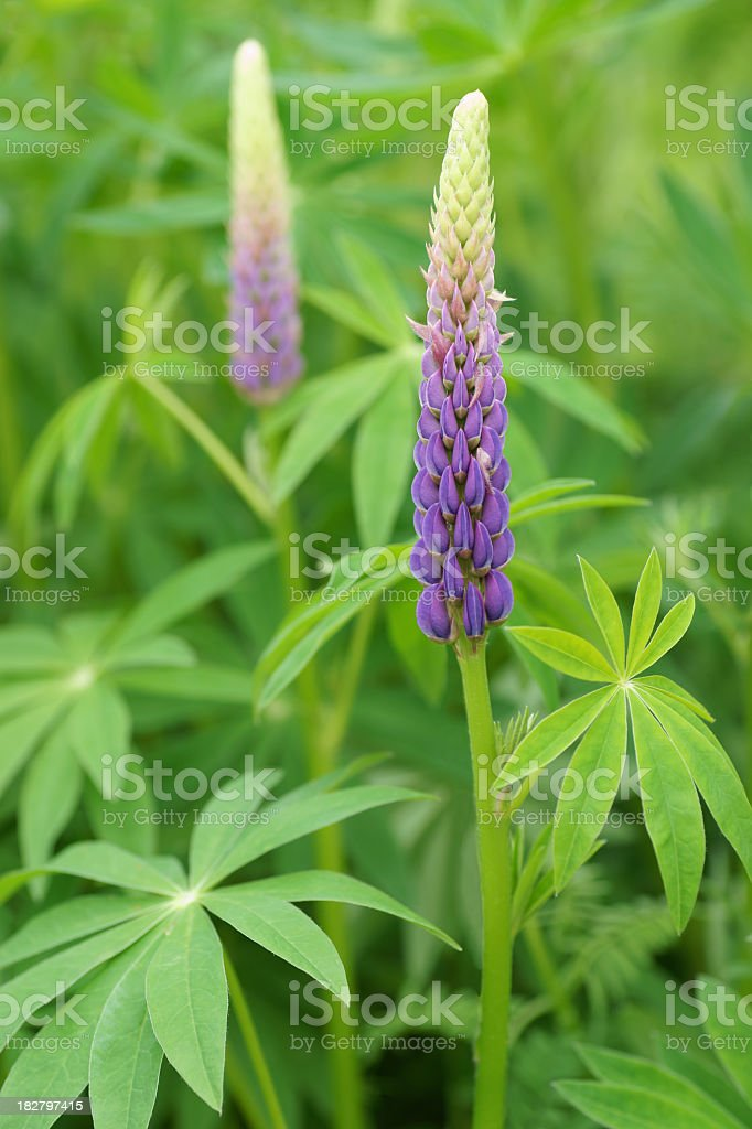 Two purple Lupines. stock photo