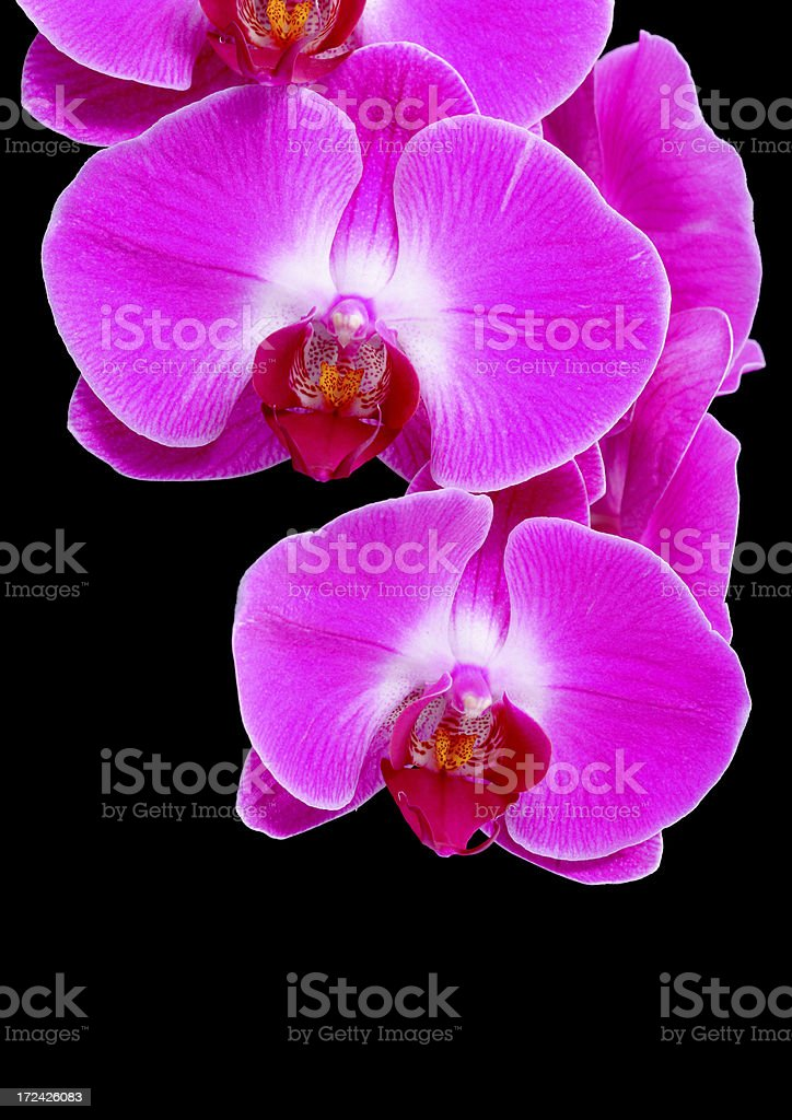 Two Purple orchid royalty-free stock photo