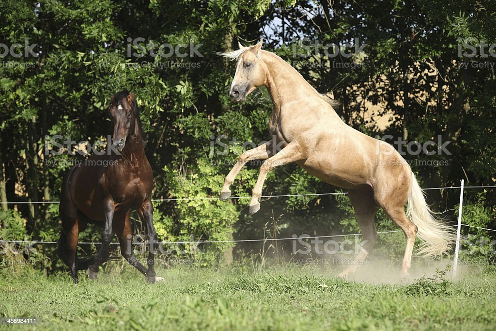 Two quarter horse stallions fighting with each other royalty-free stock photo