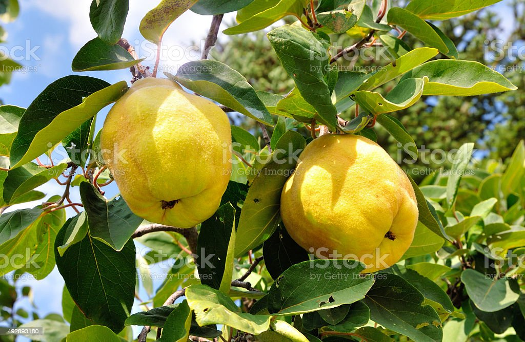 Two quinces stock photo