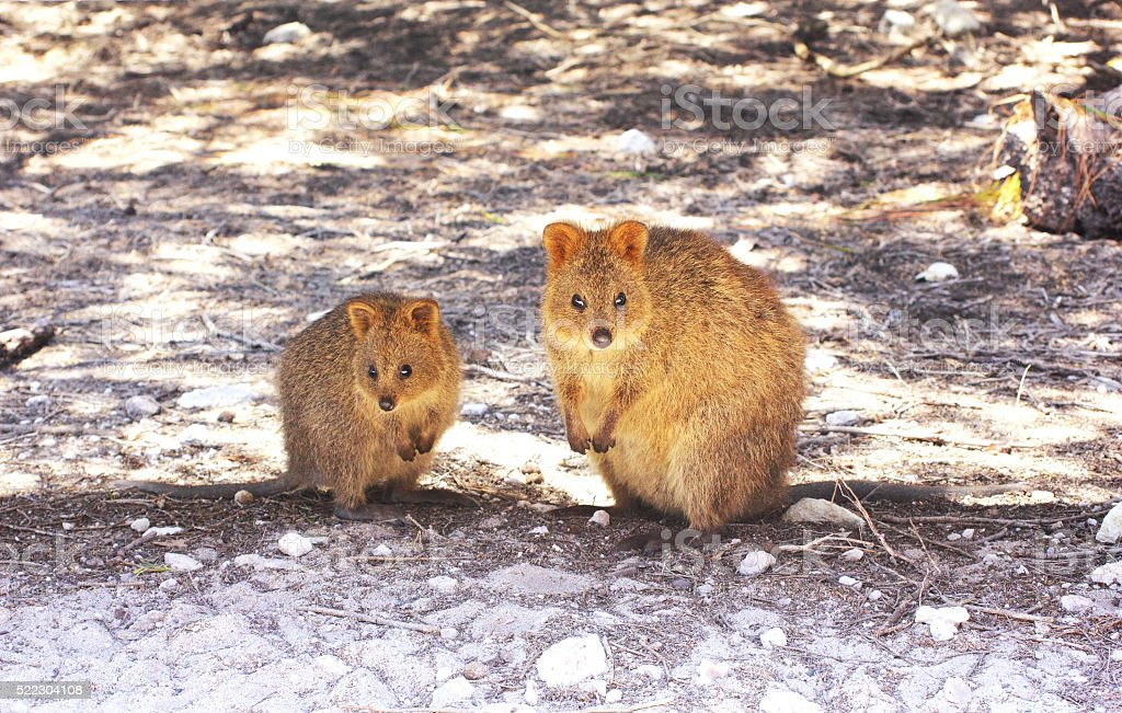 Two Quokkas sitting in the Shade, Rottnest Island, Australia stock photo