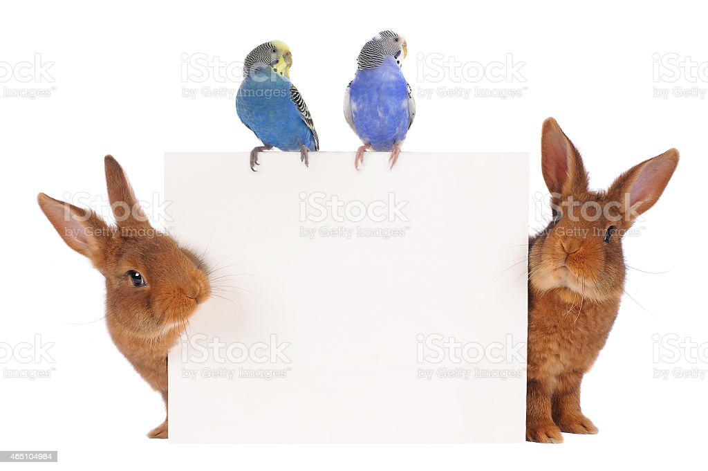Two rabbits and two blue budgies around a white blank square stock photo