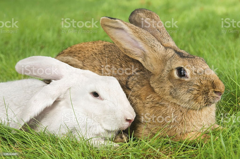 two rabbits bunny on grass stock photo