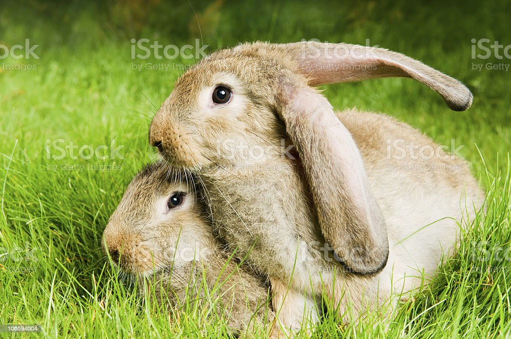 two rabbits on green grass stock photo