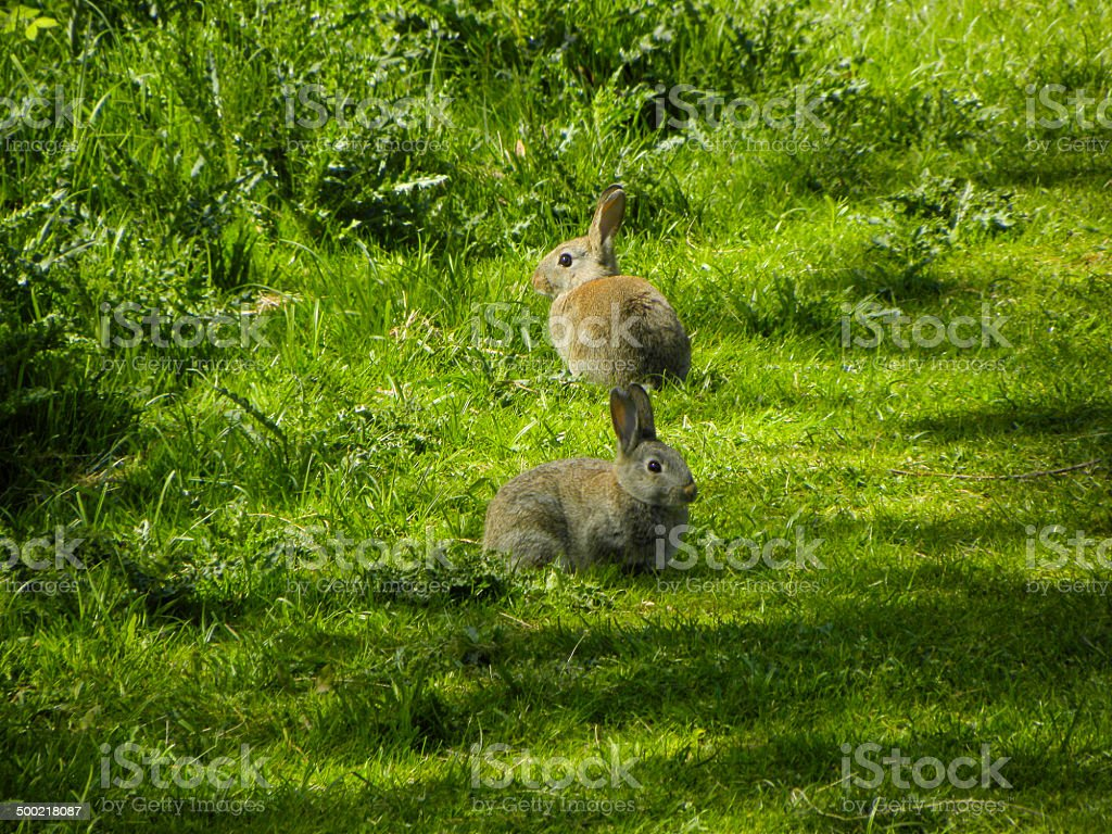 Two rabbits sitting in a woodland glade royalty-free stock photo