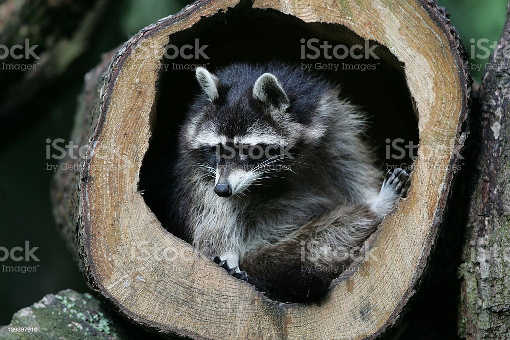 two raccoons in a tree hole royalty-free stock photo