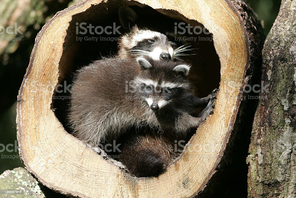 Two raccoons: Mother and child royalty-free stock photo