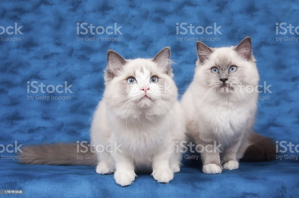 Two ragdoll cats on blue background stock photo
