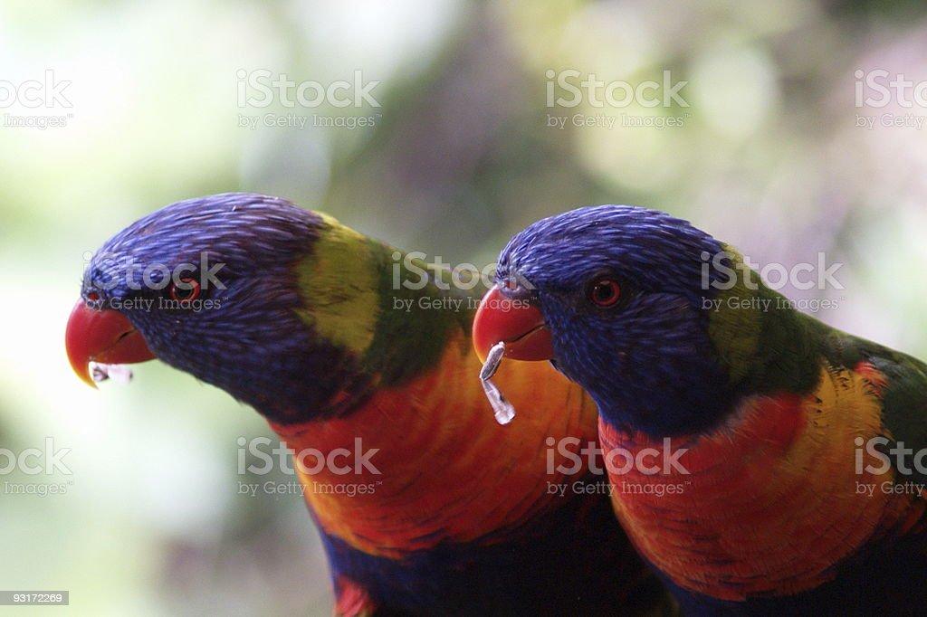 Two rainbow lorikeets feeding royalty-free stock photo