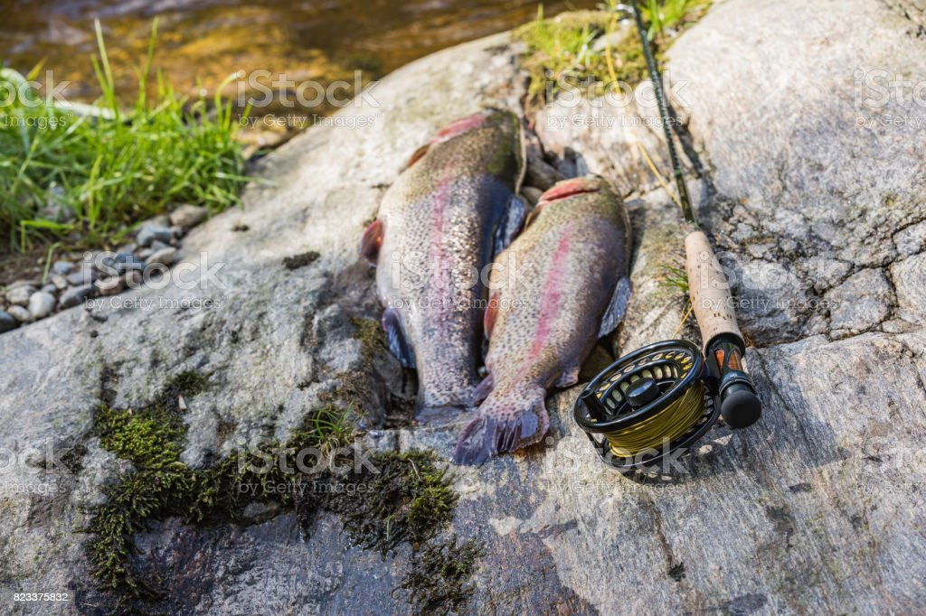 Two rainbow trout laying on stone. Trout fishing on the Otace River. Fly on Otava, South Bohemia. stock photo