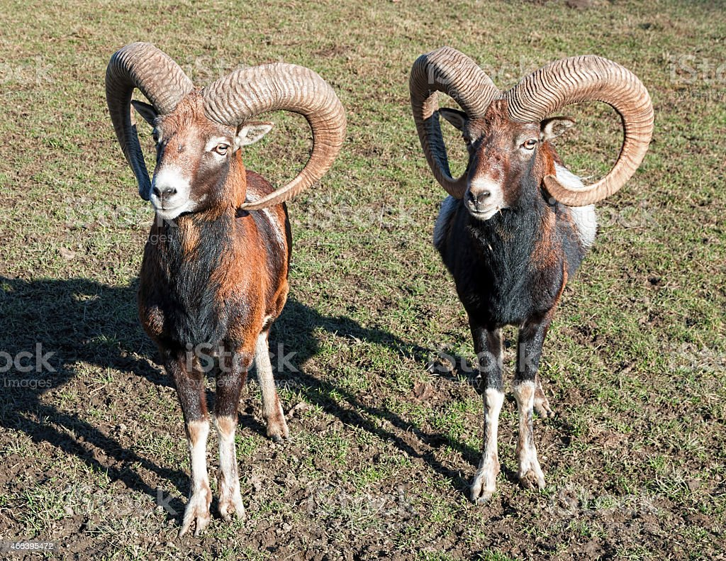 Two Rams royalty-free stock photo