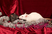 Two Rats on red velvet background