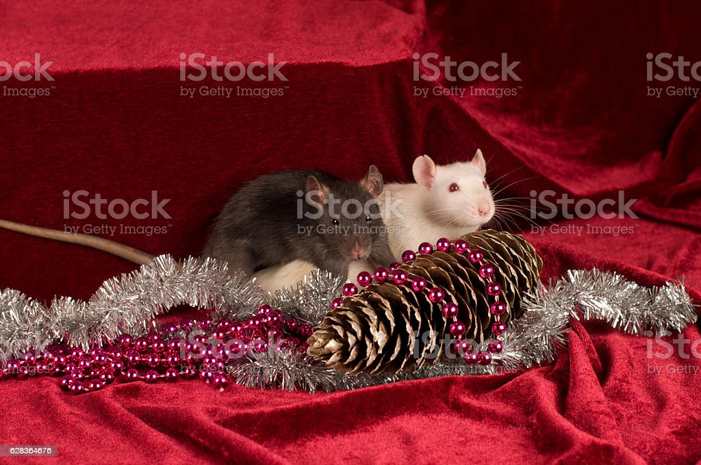 Two rats on red velvet background with cone stock photo