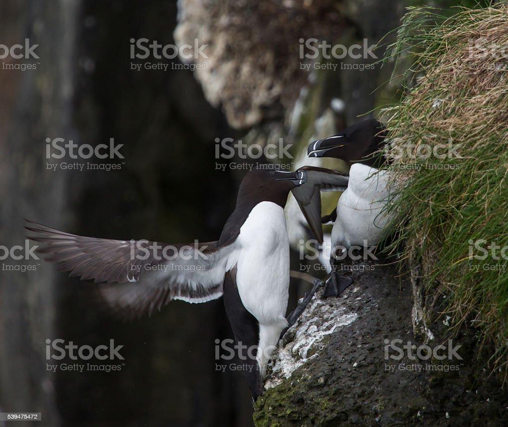 Two razorbills on cliff edge stock photo