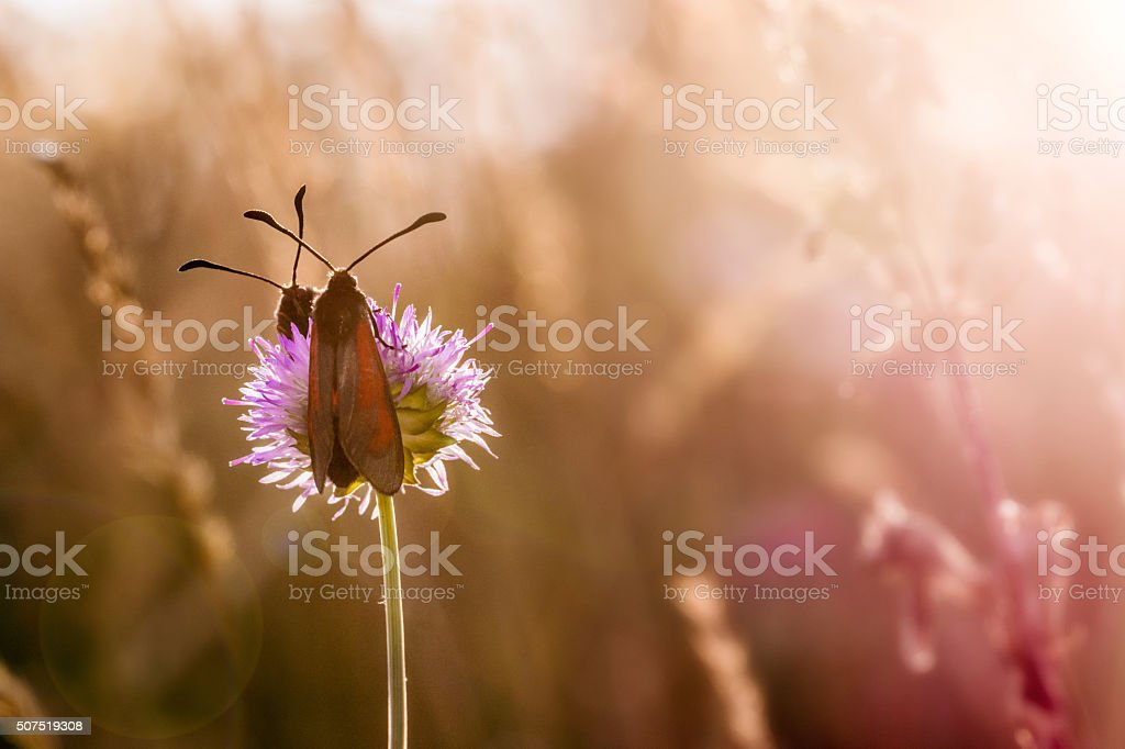 Two Red and Black Butterflies on the Flower stock photo