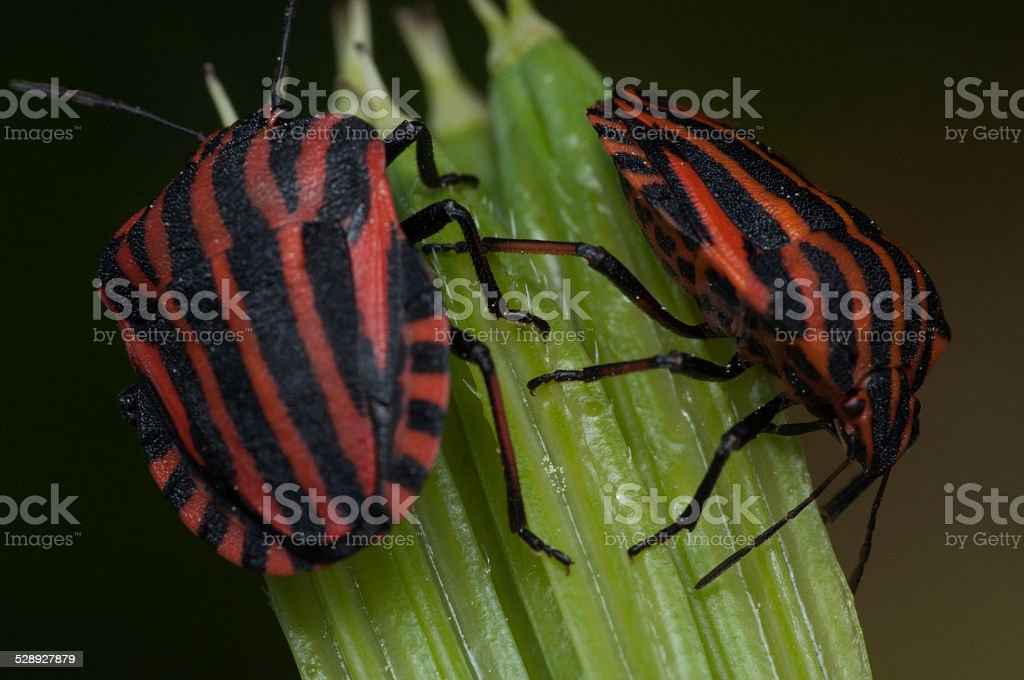 Two red and black striped minstrel bugs stock photo