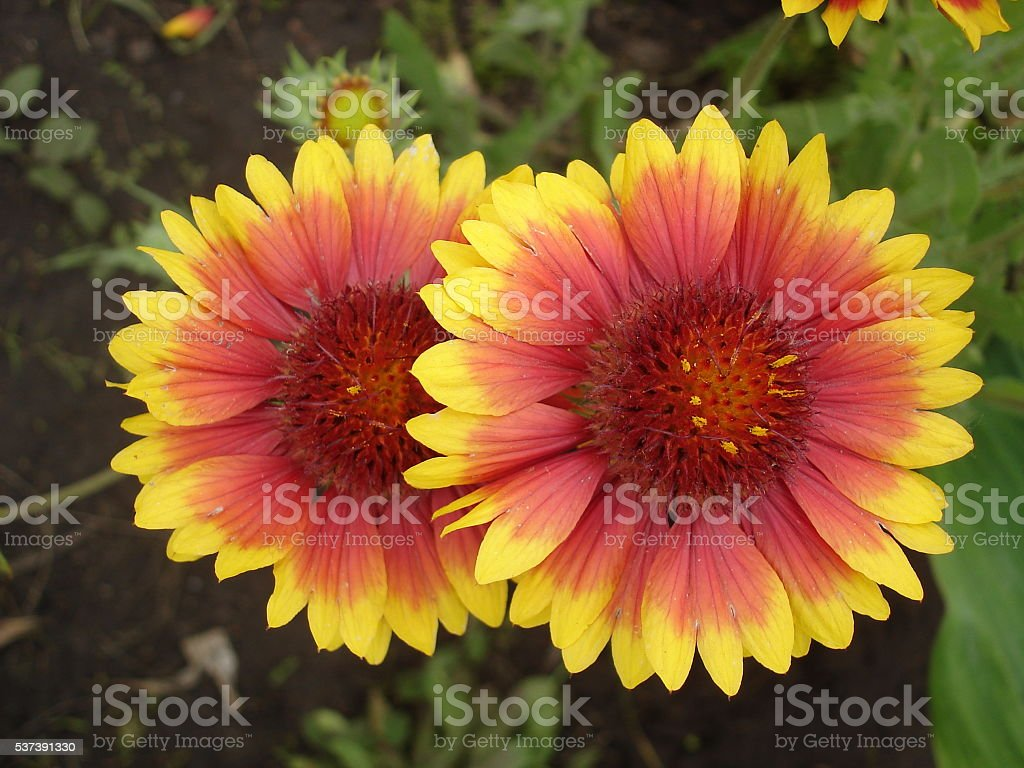 Two red and orange gaillardia flowers stock photo