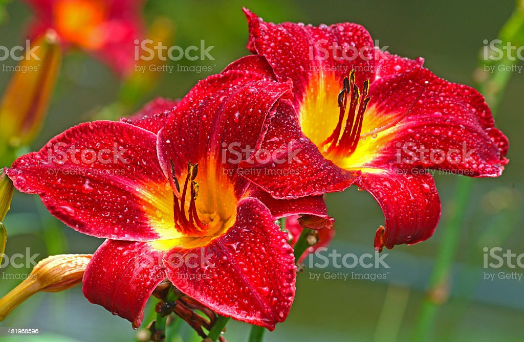 Two red and yellow daylillies together in the rain. stock photo