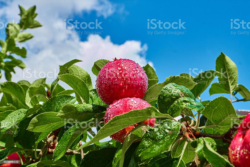 Two red apples on a branch royalty-free stock photo