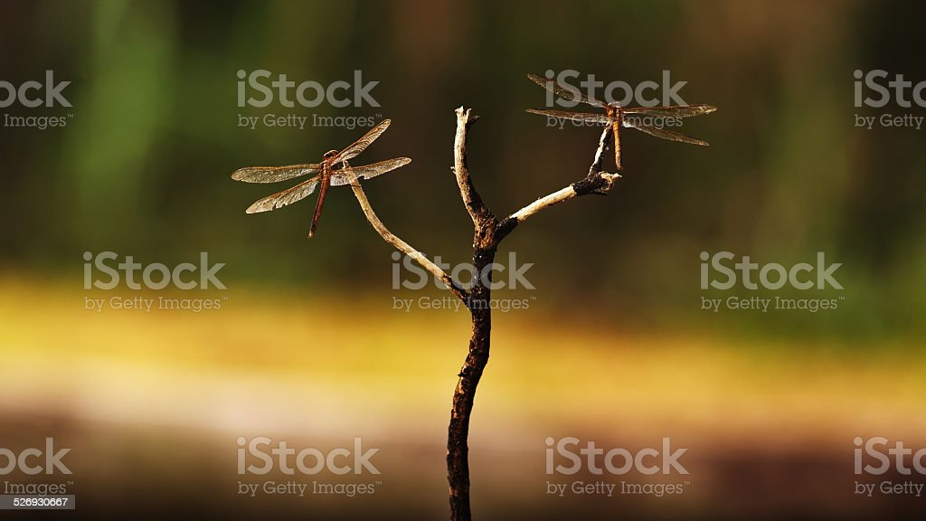 Two Red Dragonflies Harmoniously Interact in Southern Florida stock photo