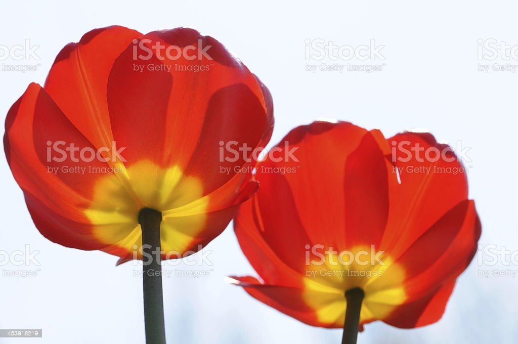 Two red flowers royalty-free stock photo