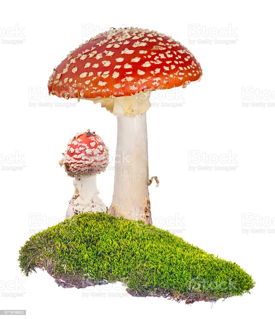 two red fly agarics in green moss on white stock photo