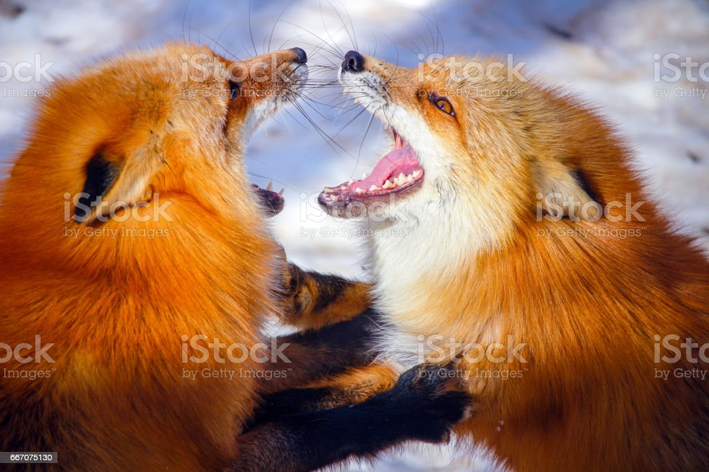 two red foxes fighting each other in winter snow stock photo