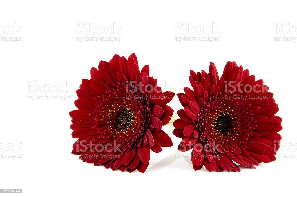 Deux red gerber photo libre de droits